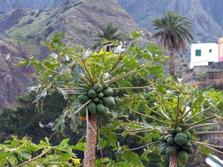 Papaya growing along the mountains in La Gomera photo