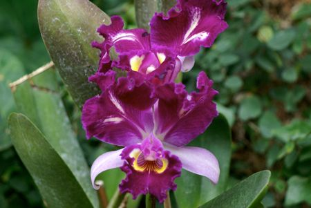 rimpeling: Cattleya Hardyana, mooi ribbeling omgeven paarse orchidee in een tuin Stockfoto
