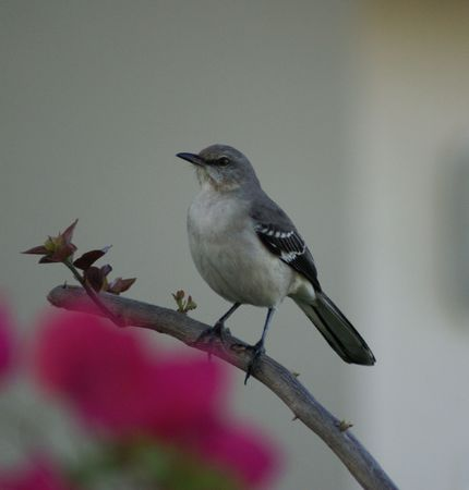 Florida bird sitting on a branch with blurred pink flower