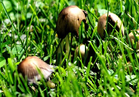 Mushrooms growing in the garden after rain Stock Photo