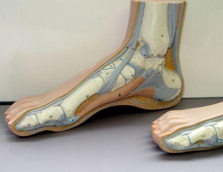 Anatomía de un pie y tobillo
