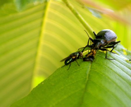 Sharing a meal :  fly and beetle eating a cankerworm Imagens