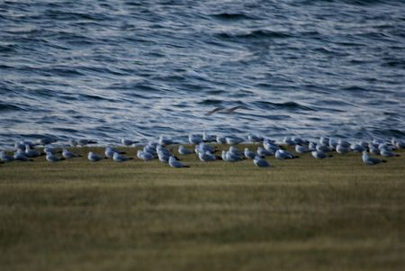 edge: Herring gulls lined up for night at edge of water
