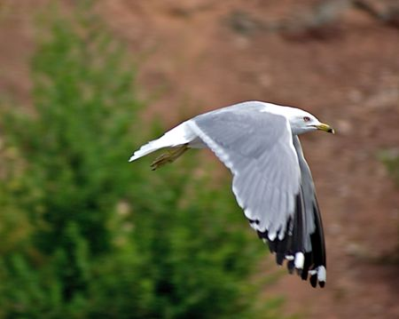 Herring Gull floating with wings down Stok Fotoğraf