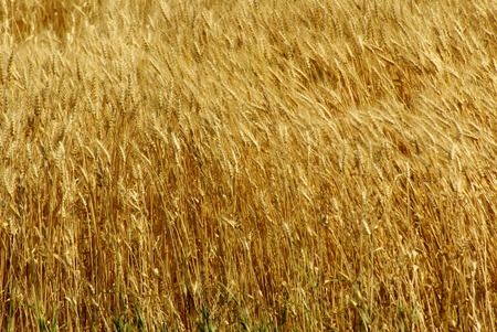 winter wheat: Close up of winter wheat Stock Photo
