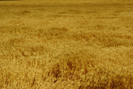 winter wheat: Winter wheat ready for harvesting Stock Photo