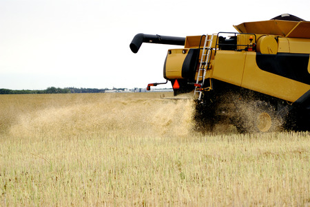 Harvester blowing wheat in a farm