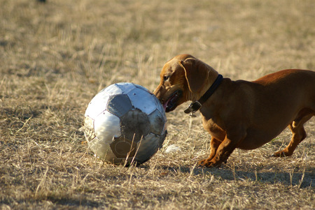 Daschund playing with a soccer ball Stock fotó