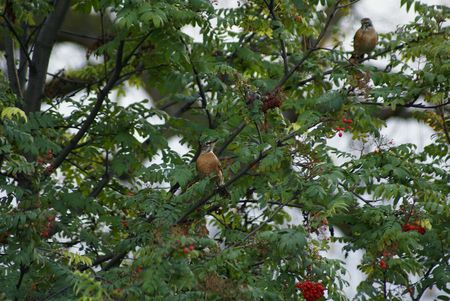 robins: Robins in a mountain ash tree