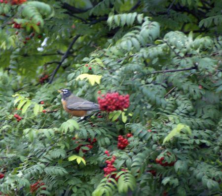 ナナカマドの木の枝のロビン 写真素材