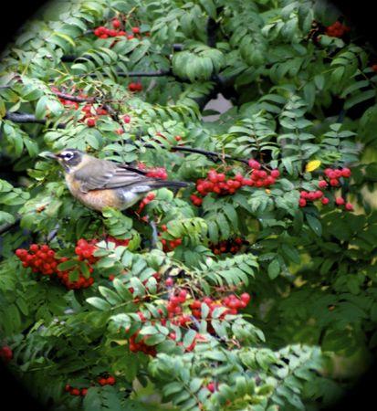 ナナカマドの果実を食べる秋のロビン 写真素材