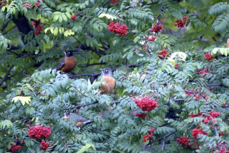 ナナカマドの木に止まっている鳥たち