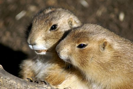cuddled: Two cuddled prairie dogs looking out of hole