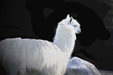 indignant: Indignant alpaca with matted wool from Peru Stock Photo