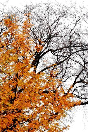 黄金のナナカマドの木と裸のニレの木秋の日