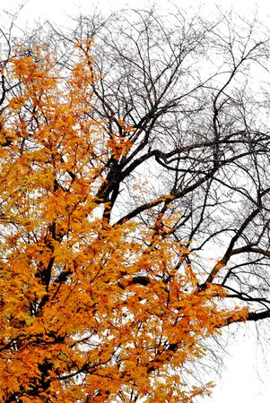 Autumn day with golden rowan tree and bare elm tree
