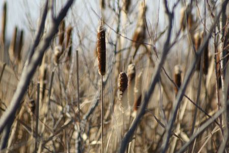 cattails: Cattails in a ditch of water Stock Photo