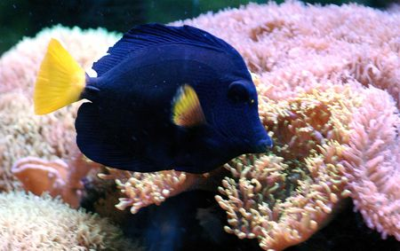 blue fish: Blue Tropical fish with pink coral