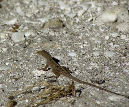 Ghecko crawling on a beach
