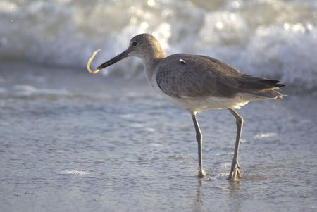 Sandpiper eating food on the Florida shore Stock Photo