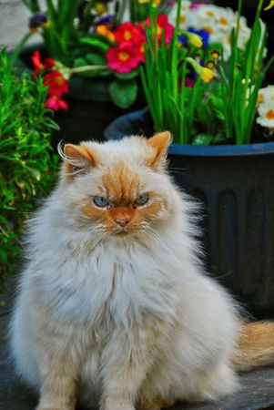 Terrorizing fluffy cat with blue eyes in the spring Reklamní fotografie