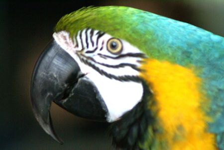 Closeup of blue-and-gold-macaw parrot face and beak