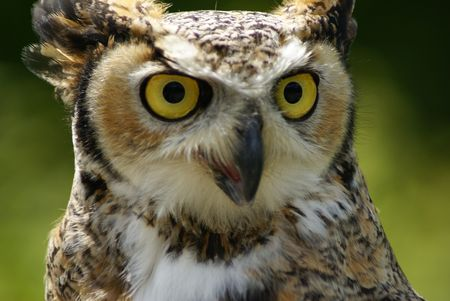 full face: Great Horned owl shown full face with large eyes