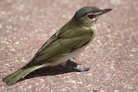 eyed: Side view of red eyed vireo  Stock Photo