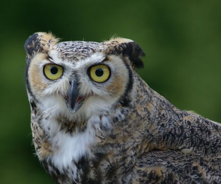 Intelligent open mouthed great horned owl with large eyes Stock fotó