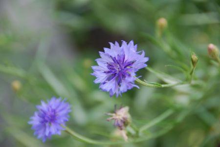 Blue cornflower in garden giving dreamy appearance