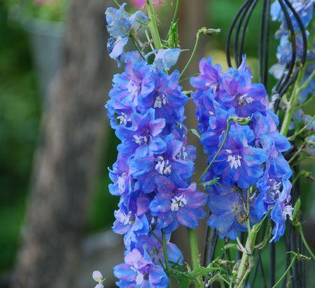 Blue delphinium spikes in garden