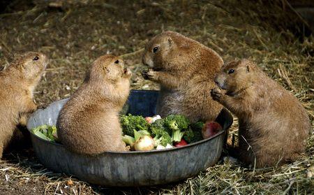Cute Prairie Dog  eating their dinner sitting on a dish Imagens