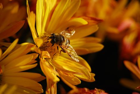 perennial: Bee on a perennial Chyrsanthemum in autumn Stock Photo