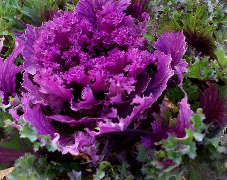 flowering kale: Purple flowering kale in autumn