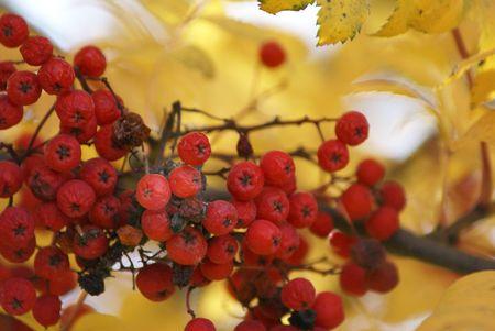 山灰や秋金でナナカマドの果実