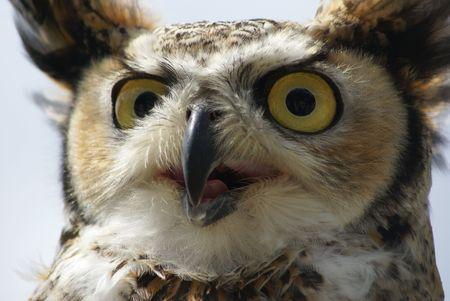 賢明な表情でフクロウの頭 写真素材