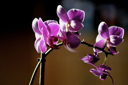purple orchid with many blossoms