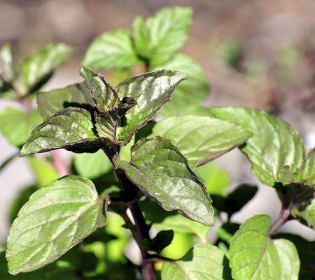 chocolate mint herb in the garden