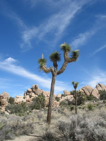 Joshua tree standing in Joshua Tree National Park with bright sky Stock fotó