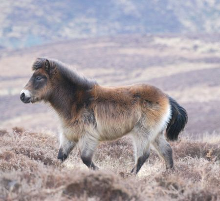 Exmoor pony walking