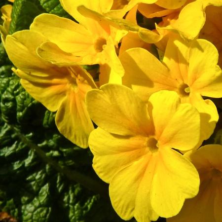 Yellow primrose flower,harbinger of English spring