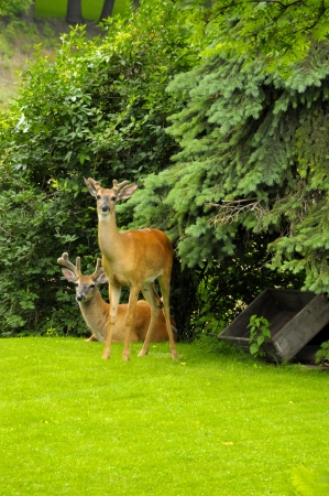 Two deer near pine trees