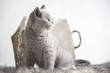 playing young british shorthair kittens from a nest