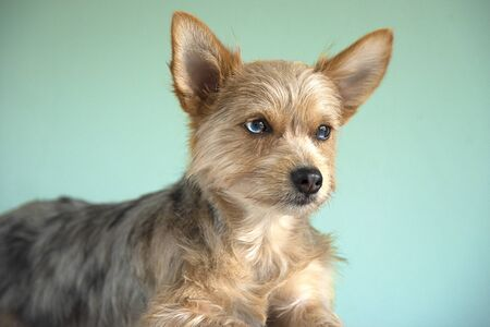 cute mix bleu merle chihuahua and yorkshire terrier puppy dog with a bleu eye