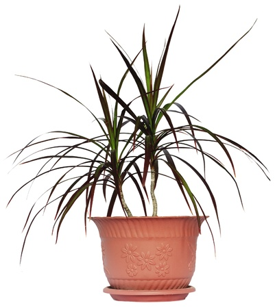 Houseplant dracaena palm in brown flowerpot, isolated photo