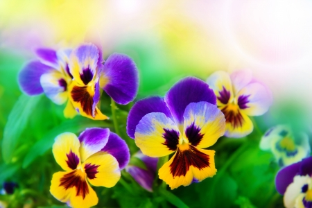 Flowering pansies in the bright spring background