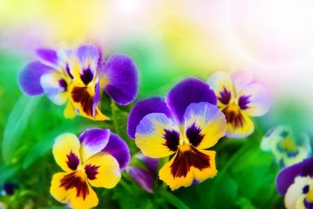 Flowering pansies in the bright spring background