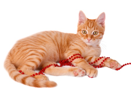Red cat Stock Photo - 17314108