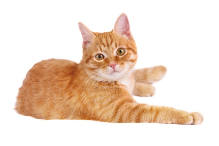 Classy red cat Stock Photo - 17666442
