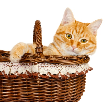 Rad cat kitten sitting in the bascket on a white background Stock Photo - 18561919